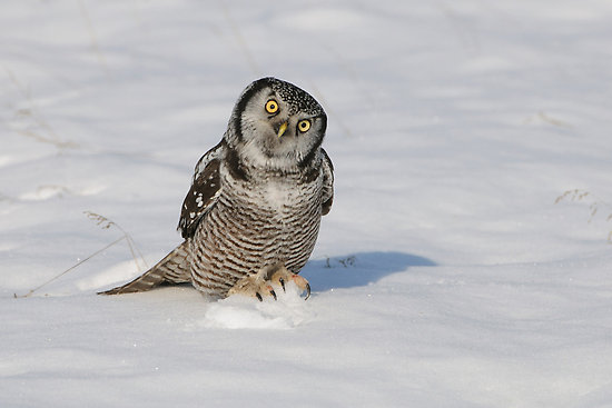 How could you ever refuse this owl?