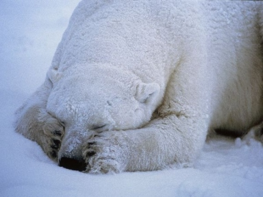 cold-ice-polar-bear-sleep-snow-sweet-Favim.com-90659