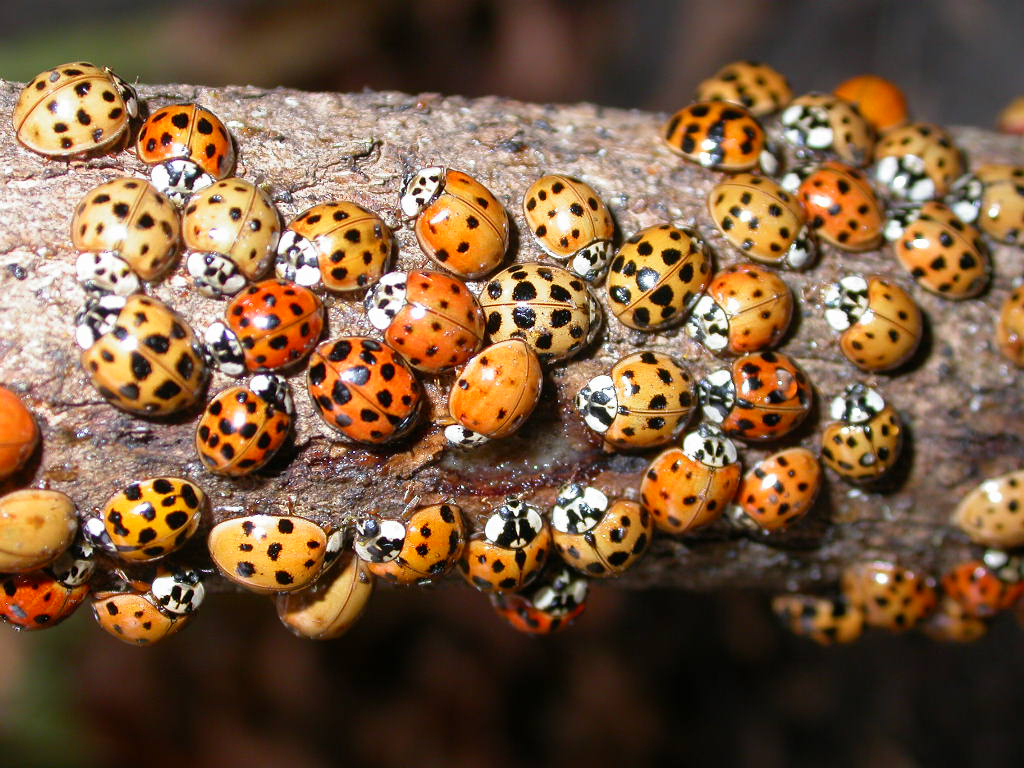 How to Be a Person: Cleaning Up your Lady Beetles « The Kenyon Thrill