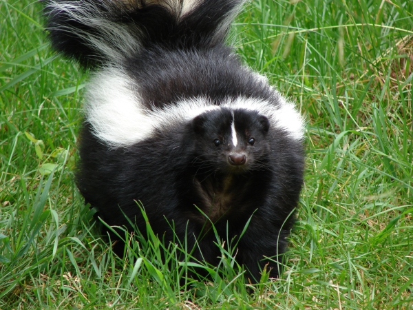 The skunk, probably.