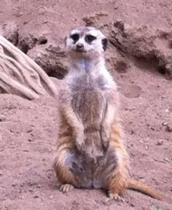 """Contrary to what it may seem, this is a meerkat, not my mom"" - EIC Kate Lindsay"