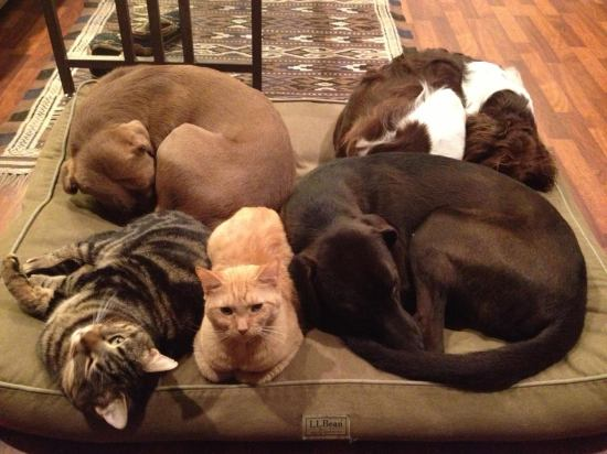 Darryl's pets. Back row (from left to right): Zoca (Knox County Pound mutt), and Jasper (Brittany Spaniel). Front row: Tubbs, Stubbs, Kako (chocolate lab mix).