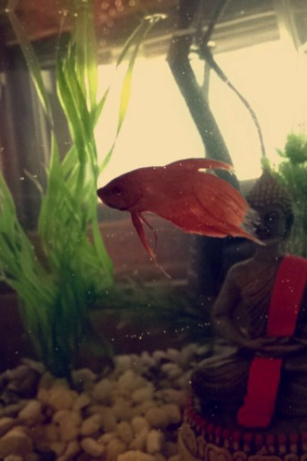 Mango the Betta Fish
