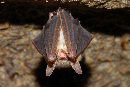 little_brown_bat_hanging_600