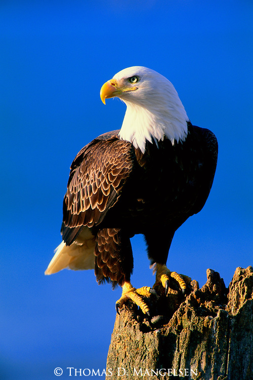The Lookout - Bald Eagle - Print 2525