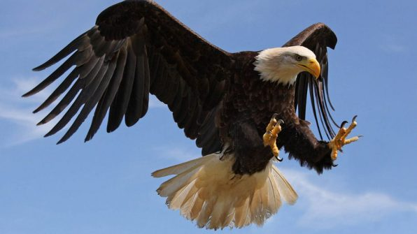 bald-eagle-attack-with-strong-sharp-claws-desktop-wallpaper-hd-for-mobile-phones-and-computers-915x515