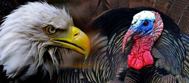 turkey-vs-bald-eagle1