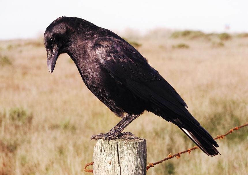 american_crow_flickr_3177645376_883afa9b74_o_kk