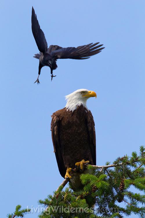 Northwestern Crow Mobbing Bald Eagle