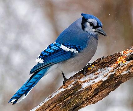 blue_jay_8