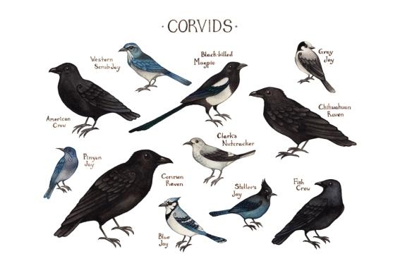 corvidssm.jpg