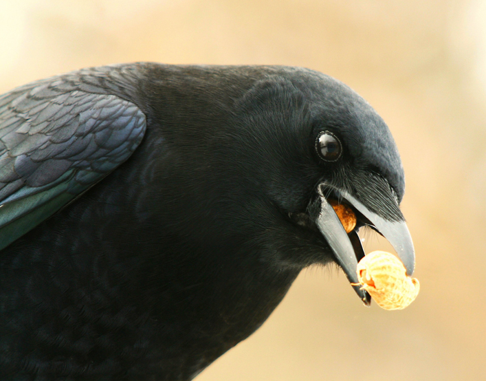 the-nutty-crow1
