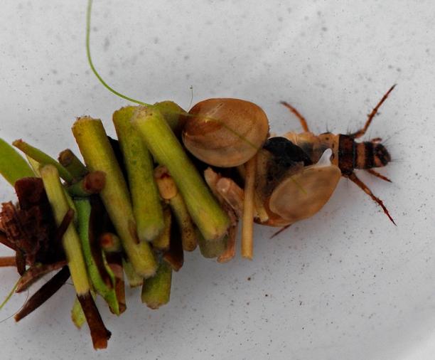 larva_of_caddisfly_-_limnephilus_flavicornis_2