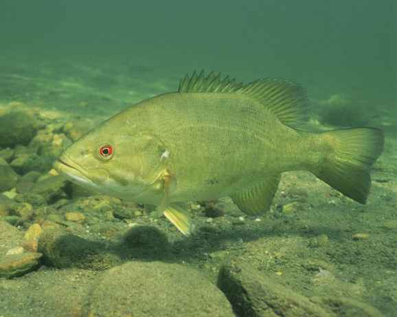 close-up-high-resolution-underwater-image-of-fish-smallmouth-bass
