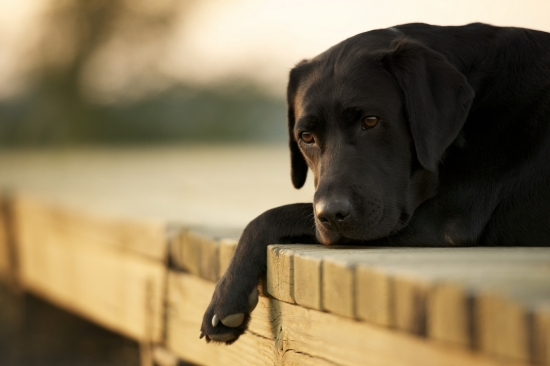dogs_labrador_down_sad_59743_1920x1280