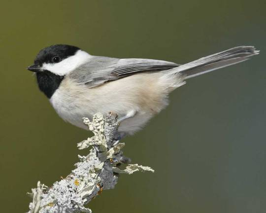 carolina_chickadee_s52-13-117_l_1