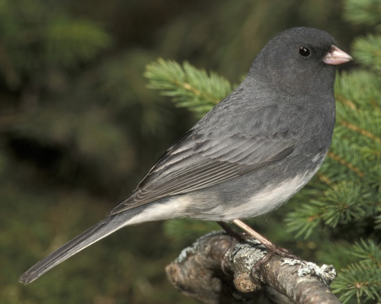 dark-eyed2520junco2520b40-9-001_l_1