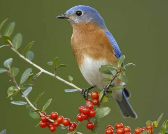 eastern_bluebird_s52-12-082_l