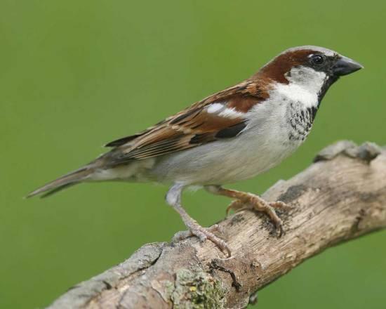 house_sparrow_s52-12-123_l_1