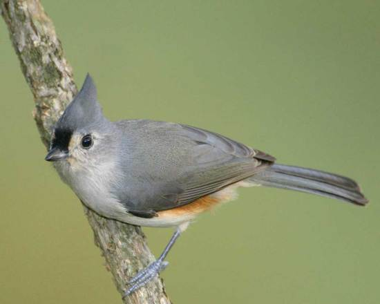 tufted_titmouse_m17-67-821_l_1