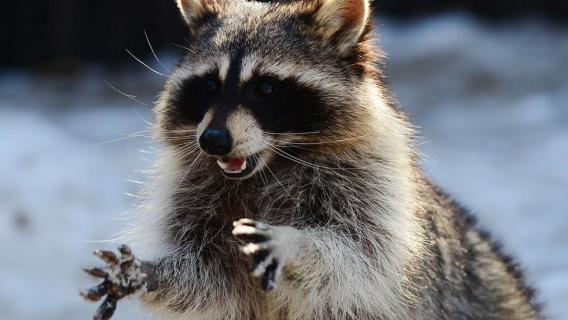 122217-raccoon-1280x720.jpg